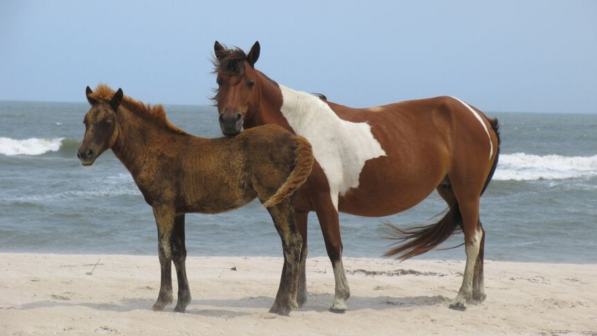 Assateague-Ponys am Strand der Atlantikinsel Assateague