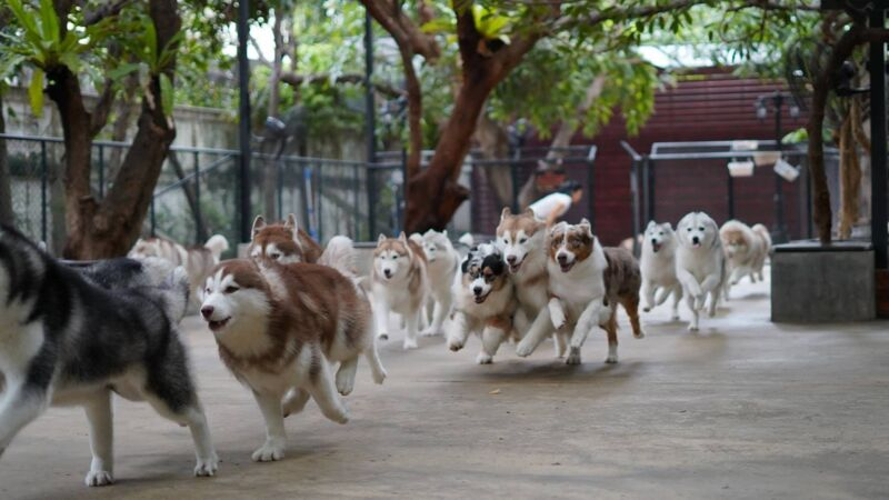 "Huskys im ""True Love Café"" in Bangkok."